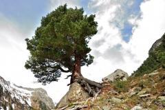 Nationaal Park Hohe Tauern - Alpine naaldboom (Zirbe)