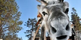 Sneeuwvakantie dichtbij - Rendiersafari Finland