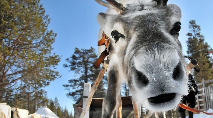 avontuurlijke-winterbestemmingen-rendiersafari-finland