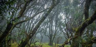 Oerbossen in Europa - Garajonay, La Gomera