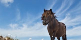 Waarom pony's in de Westhoek?