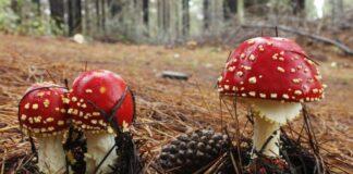 Op paddenstoelenwandeling in Vlaanderen