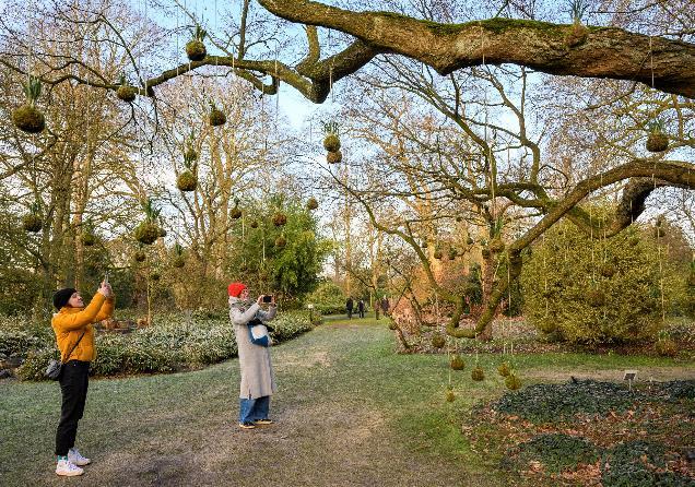 Zwevende mosbollen Arboretum Kalmthout