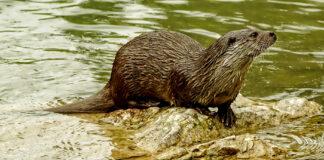 Gaan otters uit Nederland in België op vakantie